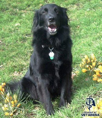 complete flat coated retriever the 0851154638 11 best images about bella s look alike on coats flats and border collies