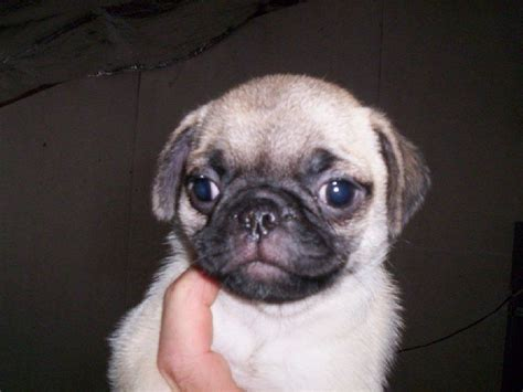 pug puppies for sale in tennessee pug palace pug breeder madisonville tennessee