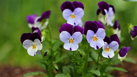 small flower plants viola flower wallpaper www pixshark com images