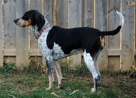 Coonhound Shedding by Active Bluetick Coonhound As Pet About Pet