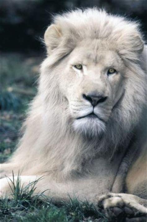 imagenes de leones albinos leones blancos taringa