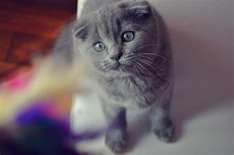 grey eyes wallpaper beautiful gray scottish fold cat with gray eyes wallpapers