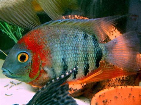 breeding red severum cichlid 17 best images about heros cichlids on pinterest popular