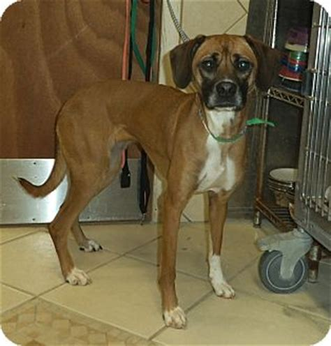 heidi adopted dog middletown ny boxer whippet mix
