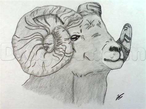how to sheep how to draw a realistic bighorn sheep step by step great plain animals animals