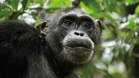 oscar  worthy  chimpanzee support jane goodalls work shaping youth