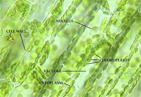 elodea cell diagram elodea plant cell diagram labeled elodea get free image