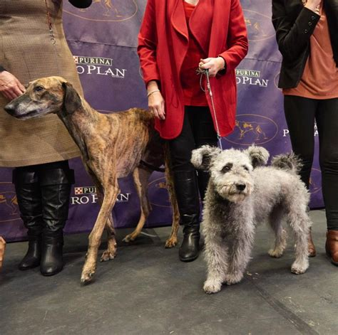 westminster show 2017 results purina show 2017 breed results breed dogs spinningpetsyarn