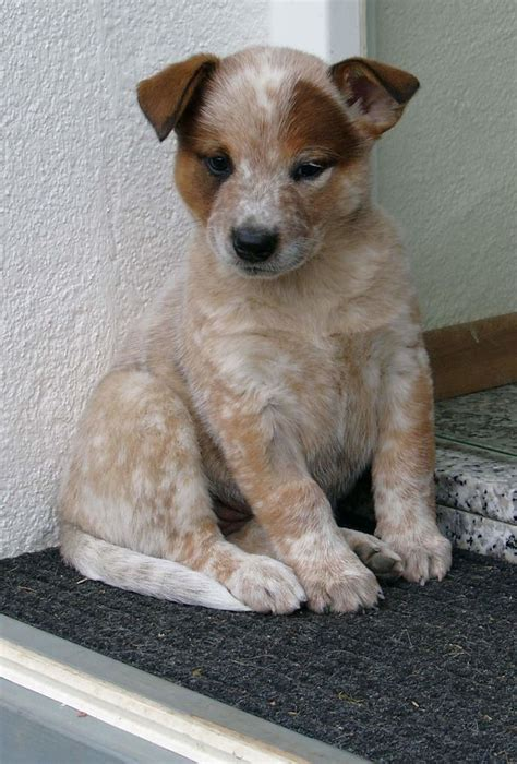 australian heeler puppies 341 best images about australian cattle dogs blue heelers on blue