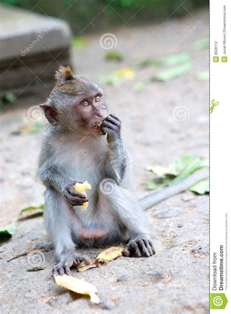 baby monkey feeding time monkey feeding on banana stock photography image 8028112