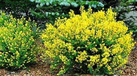 pin by on grow - Low Growing Flowering Shrubs For Sun