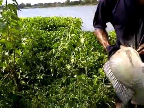 Pakan Udang Jombang mancing mujaer doovi