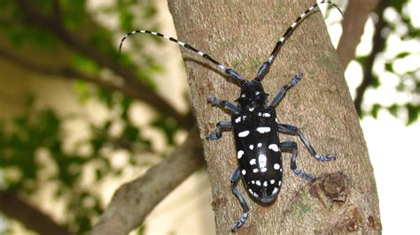 asian beetle asian horned beetle flora and fauna of tropical asia