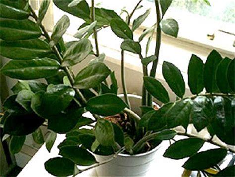 robuste zimmerpflanzen robuste zimmerpflanzen beliebte