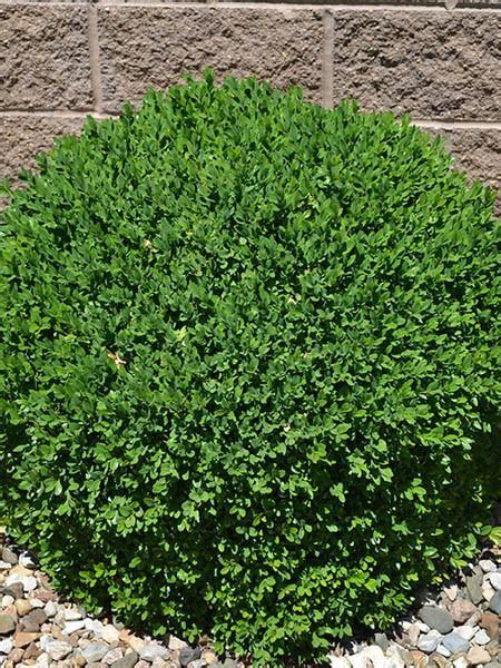 green velvet canada buxus green velvet boxwood calgary plants