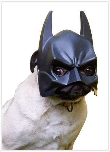 pug dressed as batman 17 best images about pug costumes hahaha on animals cutest
