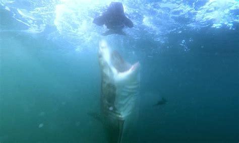 ataque mortal de un gran tiburon blanco video de un tibur 243 n blanco atacando a una foca de pl 225 stico