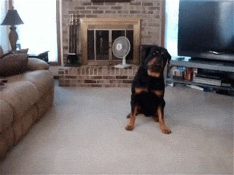 dead rottweiler 12 rottweilers to cheer you up rover