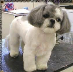 shih tzu haircuts cute dogs pets shih tzu pictures and wallpapers
