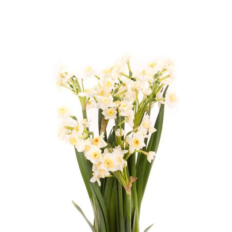 avalanche narcissus daffodils types  flowers