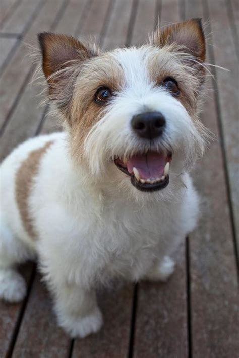 haircut ideas for long hair jack russell dogs long haired jack russell happy holly the short haired