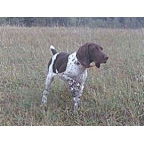german shorthair puppies mn northwaters gsp s german shorthaired pointer breeder in hibbing minnesota listing