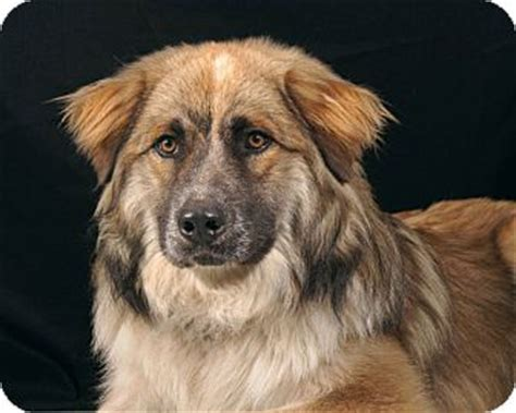 buddy sudbury ma buddy adopted sudbury ma australian shepherd great pyrenees mix