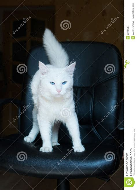 Cat Time Black Leather white cat with blue and bushy stock image