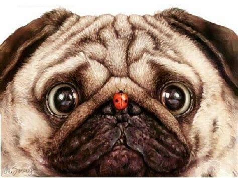 why is my pugs nose ladybug pug re pinned by pugaddict follow us on our new page at https