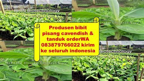 Cari Bibit Pisang Cavendish order wa 083879766022 suplier bibit pisang cavendish