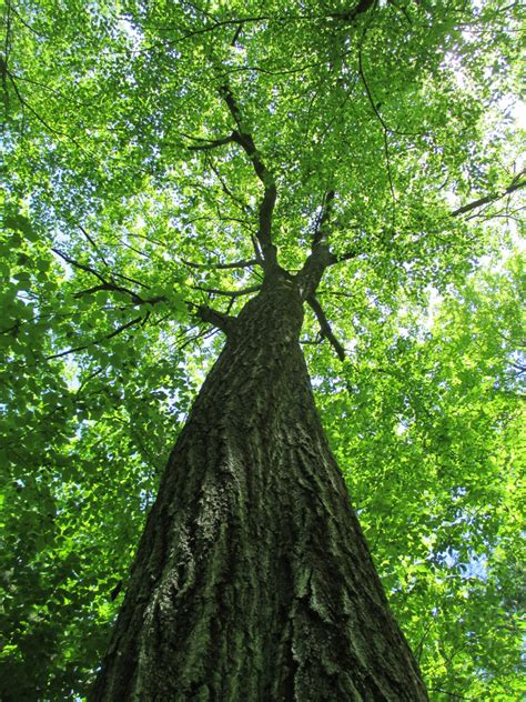 seeing the forest for the trees what one oak tells us