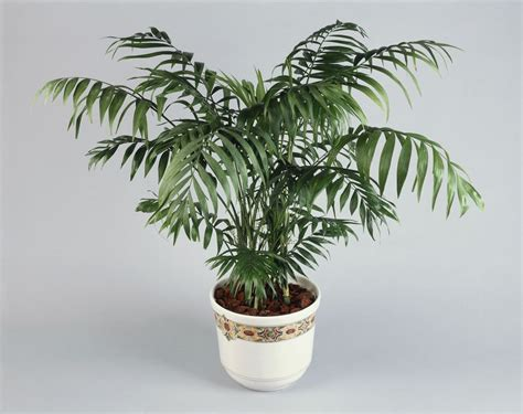indoor palm palor palm plant indoor care