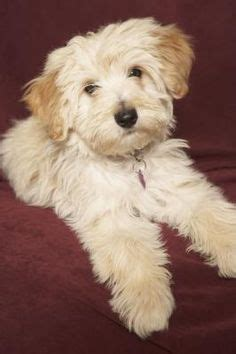 how to take care of a havanese puppy 1000 images about havanese on havanese puppies havanese dogs and