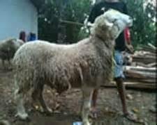 Bibit Kambing Texel kambing dan domba hijauan makanan ternak jenis leguminosa
