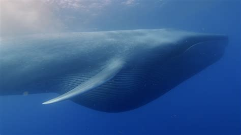 Whale Overall whales only recently evolved into giants when changing oceans concentrated prey