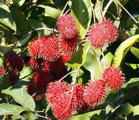 Bibit Buah Rambutan Rapiah aneka jenis bibit tanaman buah yang cocok untuk