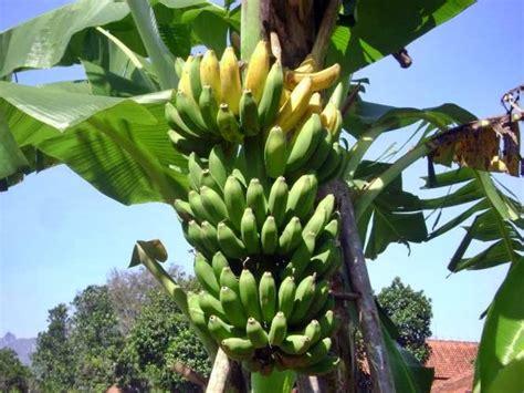 Satu Sisir Pisang Kepok peluang usaha budidaya pisang kepok dan analisa usahanya