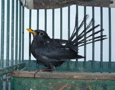a blackbird is seized after being used as a live decoy to