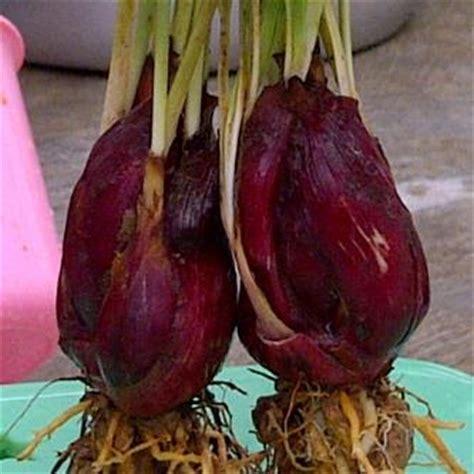 Tanaman Obat Bawang Lanang mari berwirausaha bawang dayak eleutherine palmifolia sebagai tanaman obat multifungsi