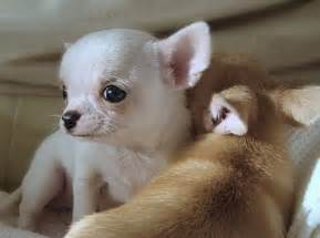 Cutest baby puppies dogs 13663627 660 491 jpg