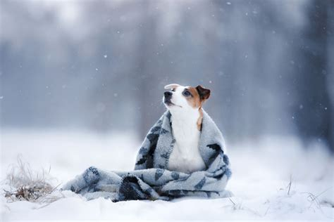 low temperature in dogs dogs and cold weather beware of this tractive