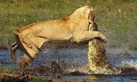peleas de leones a muerte leon vs cocodrilo cocodrilo contra leon peleas de