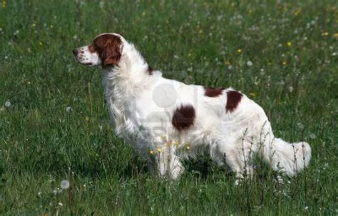 setter dogs and white setter breed photo breeds picture
