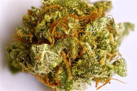 Entrasol Gold Vanilla 600 Gram columbian gold marijuana strain reviews allbud