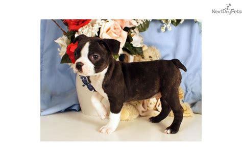 bojack puppies brent boston terrier puppy for sale near williamsport pennsylvania 13eed5df d8b1