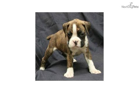 brindle boxer puppies for sale near me boxer puppy for sale near kalamazoo michigan 476f1212 6f41
