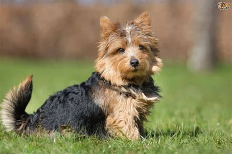 hypoglycemia in yorkie puppies terriers and hypoglycemia pets4homes