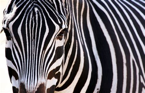 animal zebra wallpaper 1935x1249 wallpoper 214298