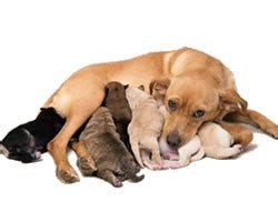 how after green discharge are puppies born caring for a reproduction dogs pet care information from greencross