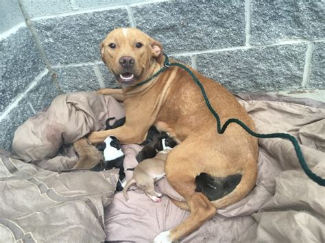 sacramento puppies someone dumped this pit bull and newborn puppies in front of a shelter